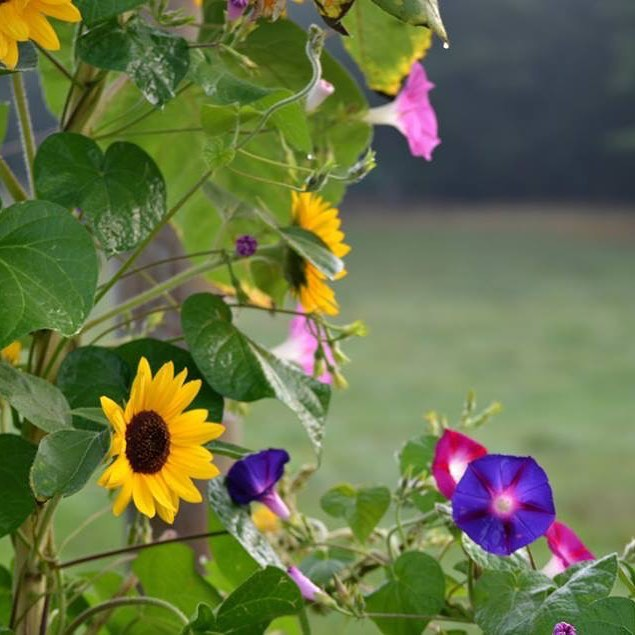 A peaceful morning in the country morningglory sunflower countrylife brewingwisdom