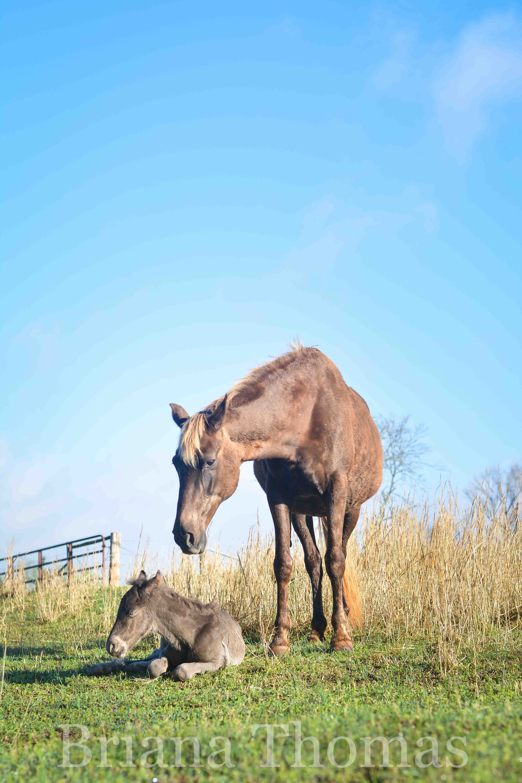 The first foal of 2017, Halal's Smokey Mountain Man, made his debut on April 4th. Rocky Mountain Man x Kilburn's Sundown Molley x Kilburn's Chocolate Sundown