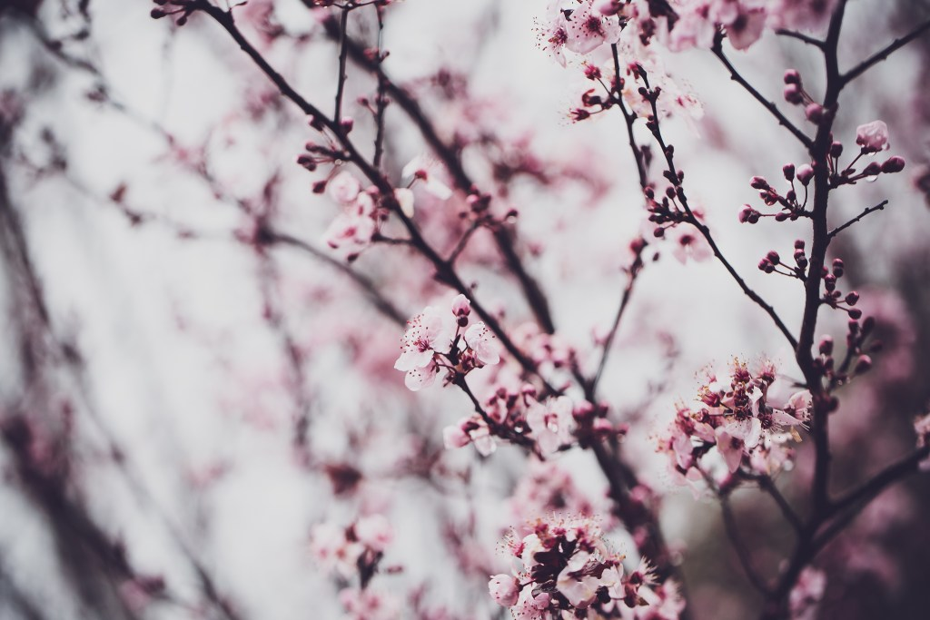 cherry blossoms on a dreary day