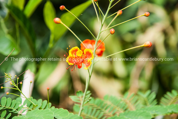 colorful and delicate flower.Vietnam travel images and stock photos.