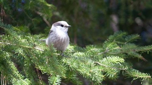 Gray jay at Algonquin