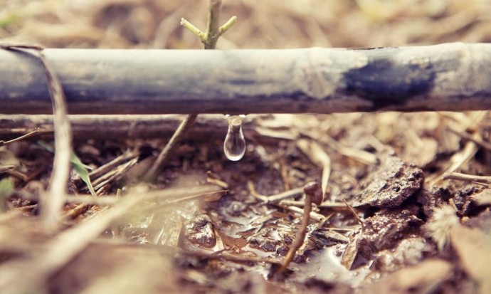 Drip irrigation in action