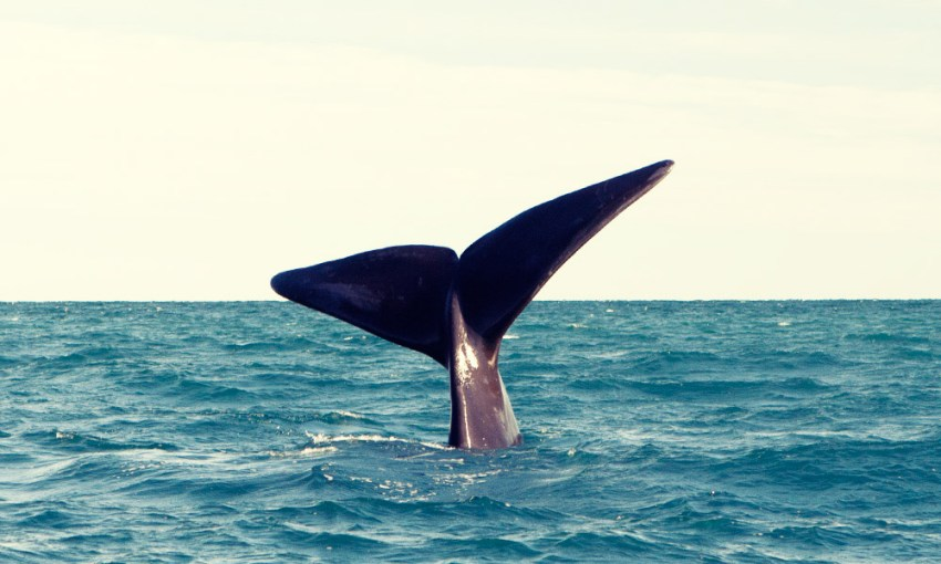 Whale watching in Puerto Madryn