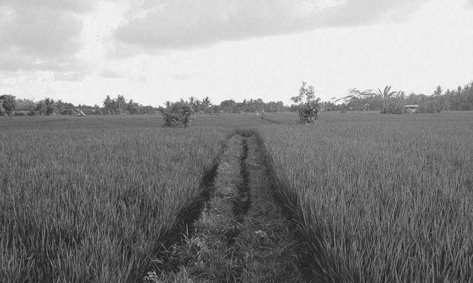 Rice field road
