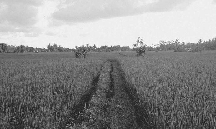 Rice field road