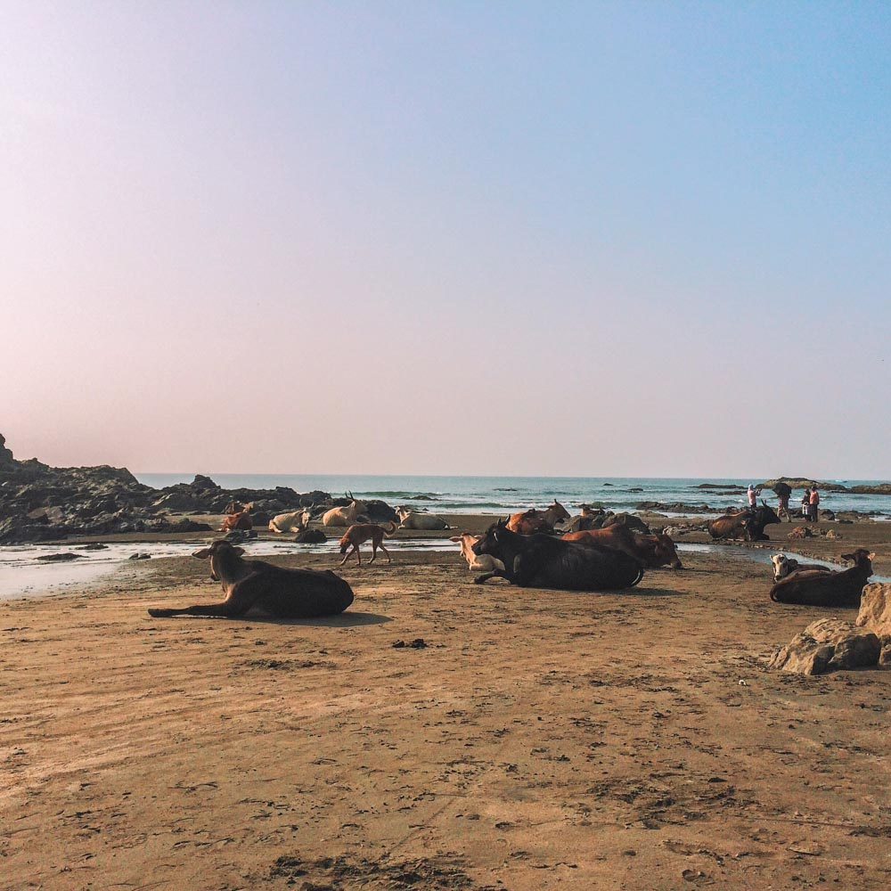 Cows on the beach are a common sight in Goa