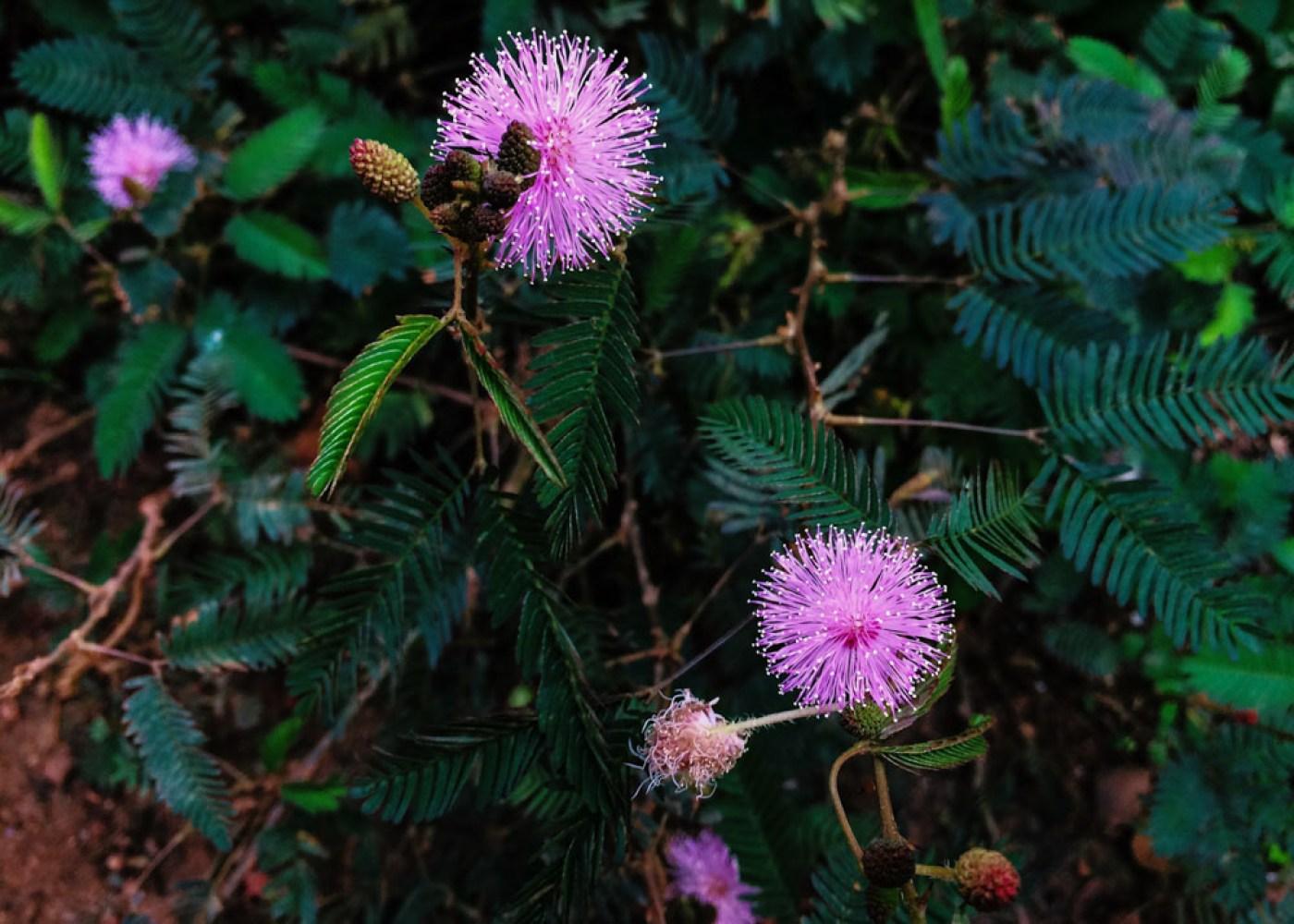 Mimose in Kerala backwaters