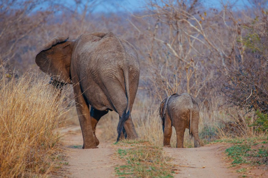 Baby and mother elephant at Makanyi safari lodge, South Africa