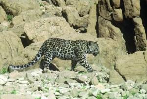 Judean Desert leopard - Thmt morning walk on a cliff copies at Ein Gedi 1985 - - Yossi Od/ wikipedia