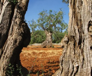 ancient olive tree trunk