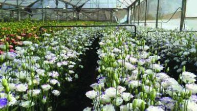 dsp_1216_www-israel-flowers-net