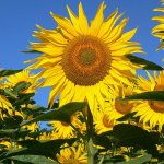 sns-real-estate-sunflower-pictures-027