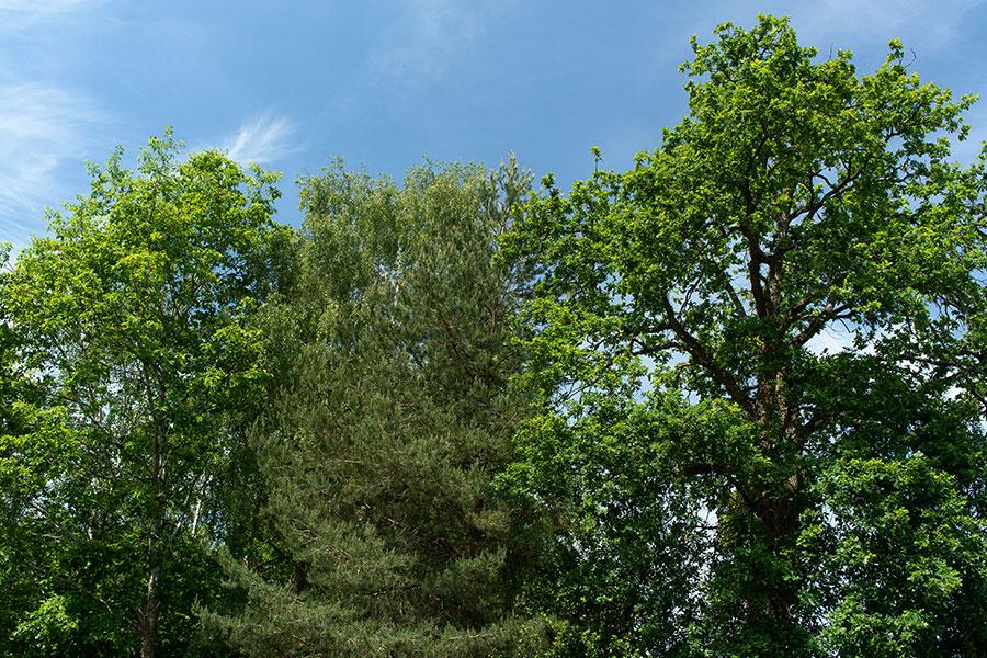 tree pola