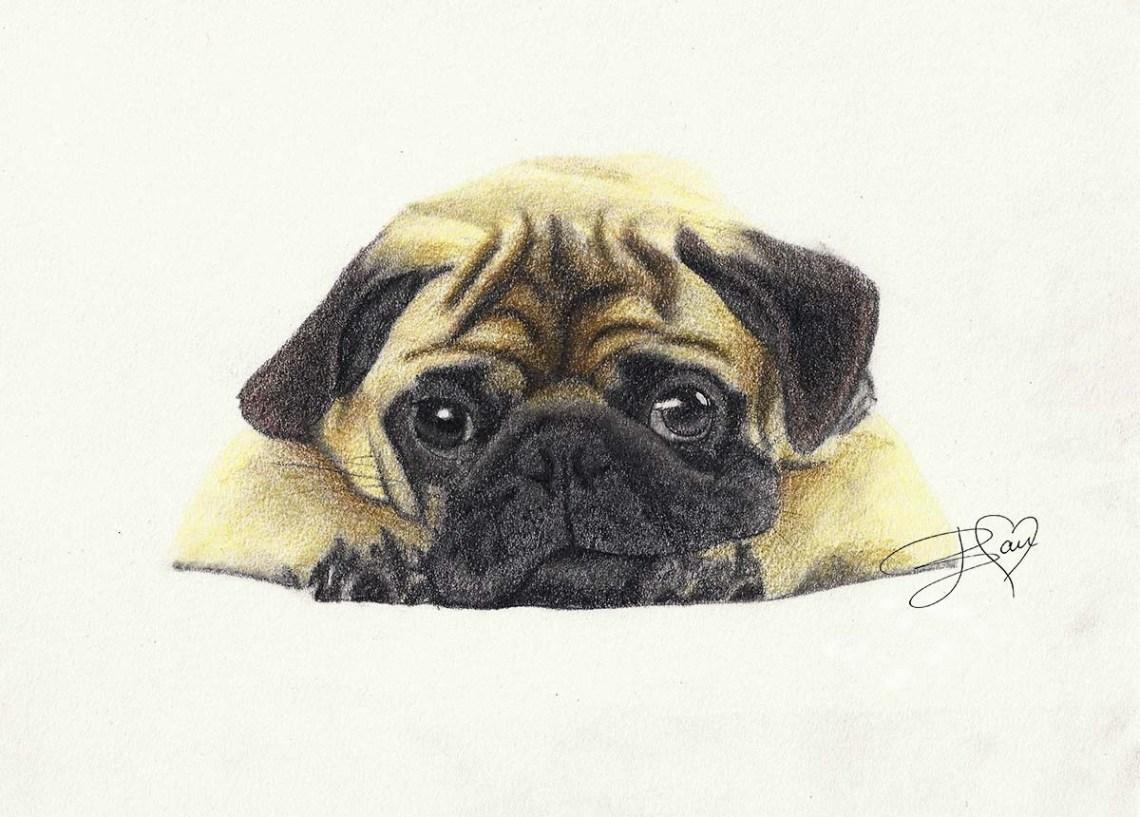Mopshond Pug