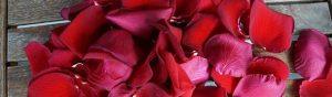 rose-979635_640