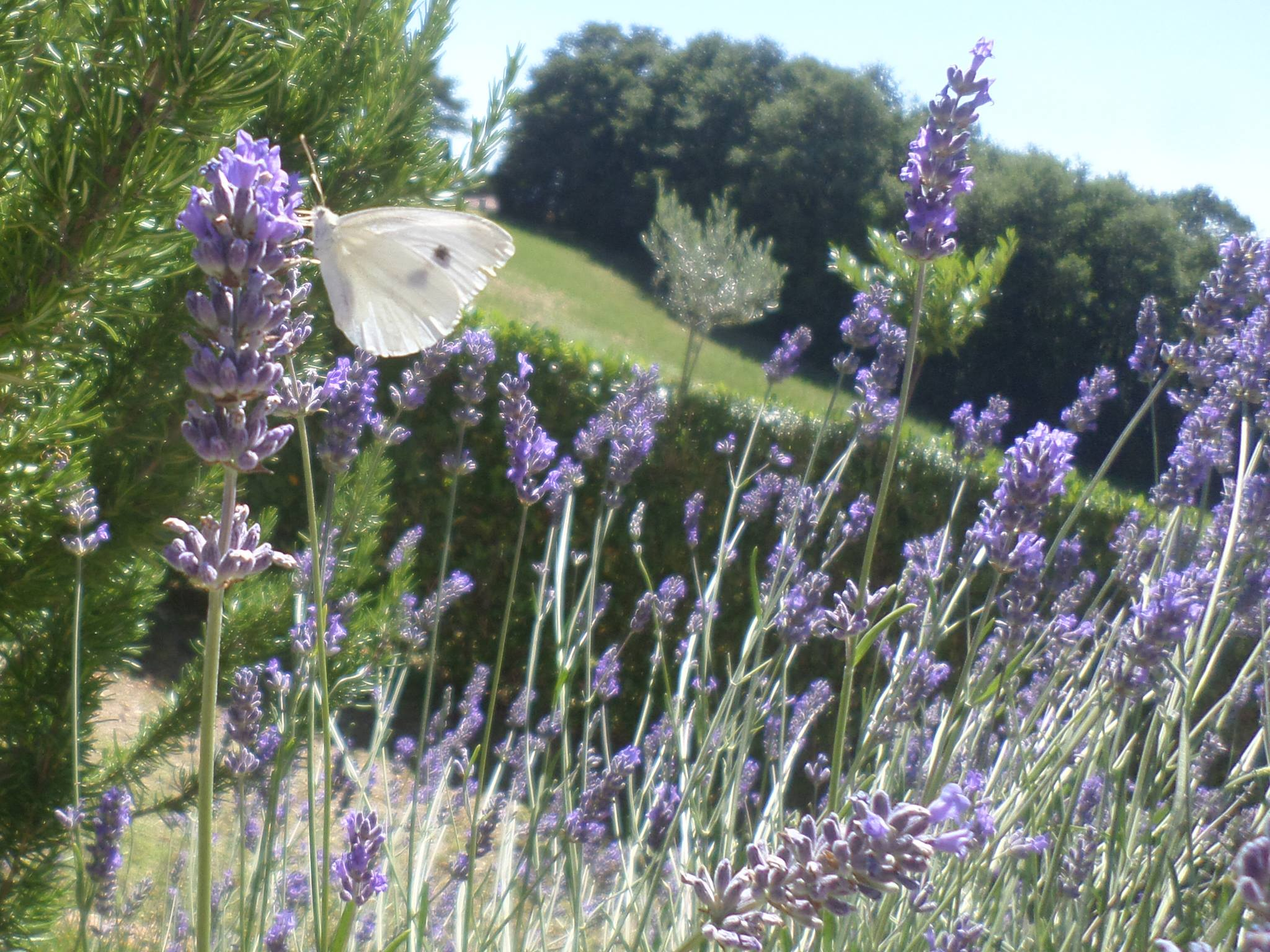 Of Flowers and Bees, Butterflies and Dreams: Il Lavandeto di
