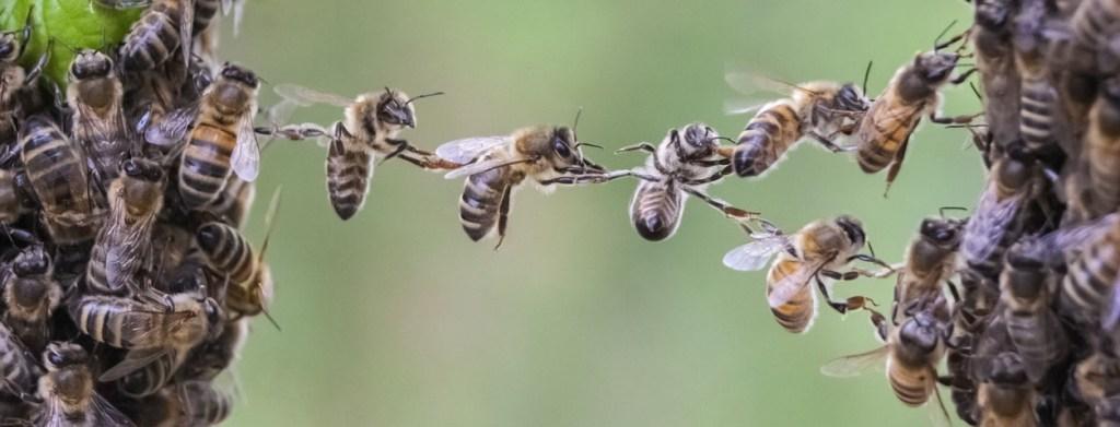 Trabalho em equipe: abelhas se ajudam a atravessar um vão.