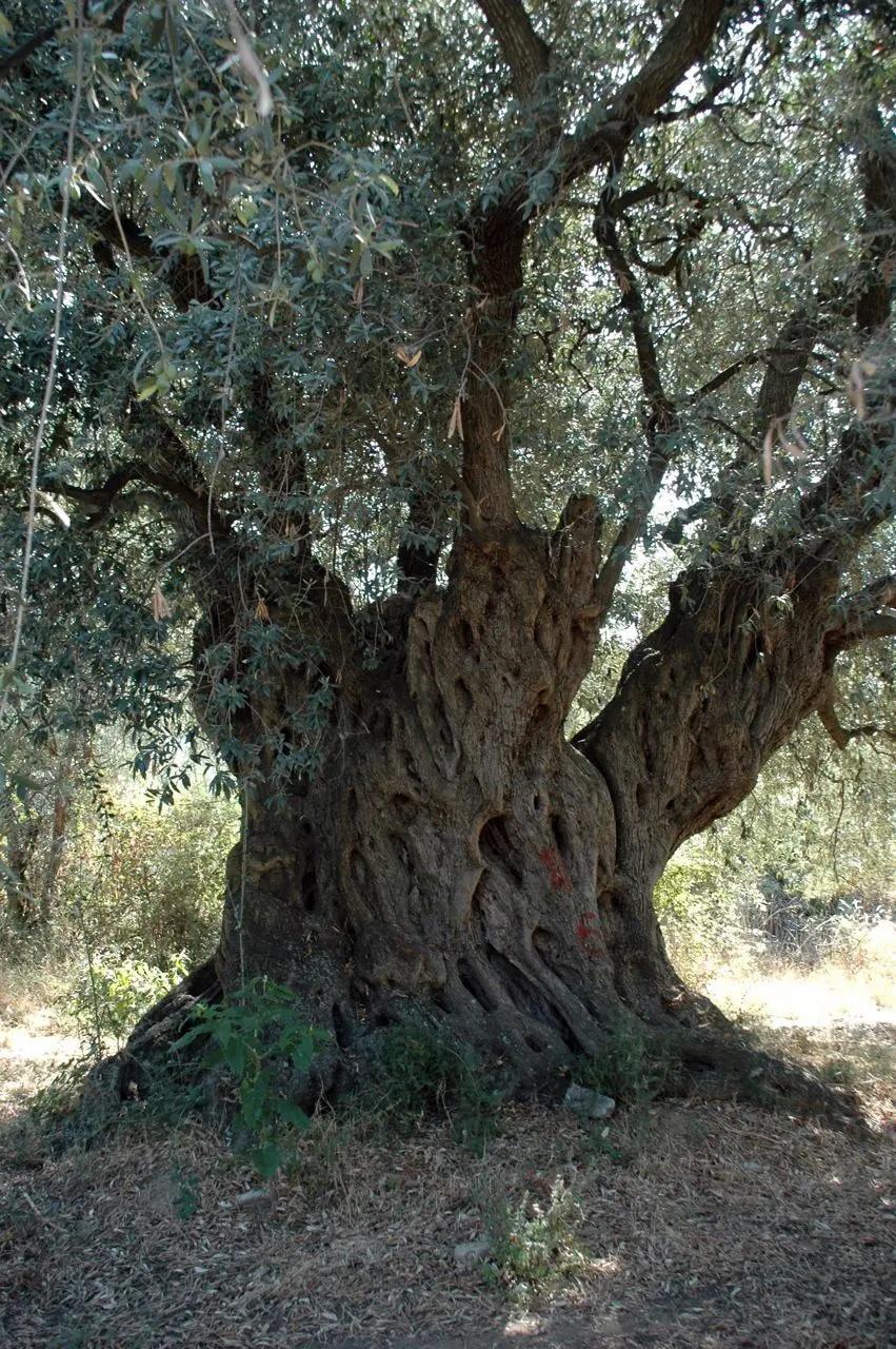 vita verde 2000 Jahre alter Olivenbaum