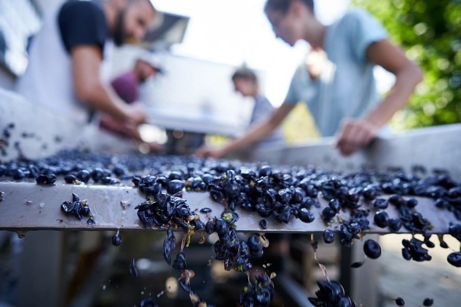 Weinauslese IMI Winery