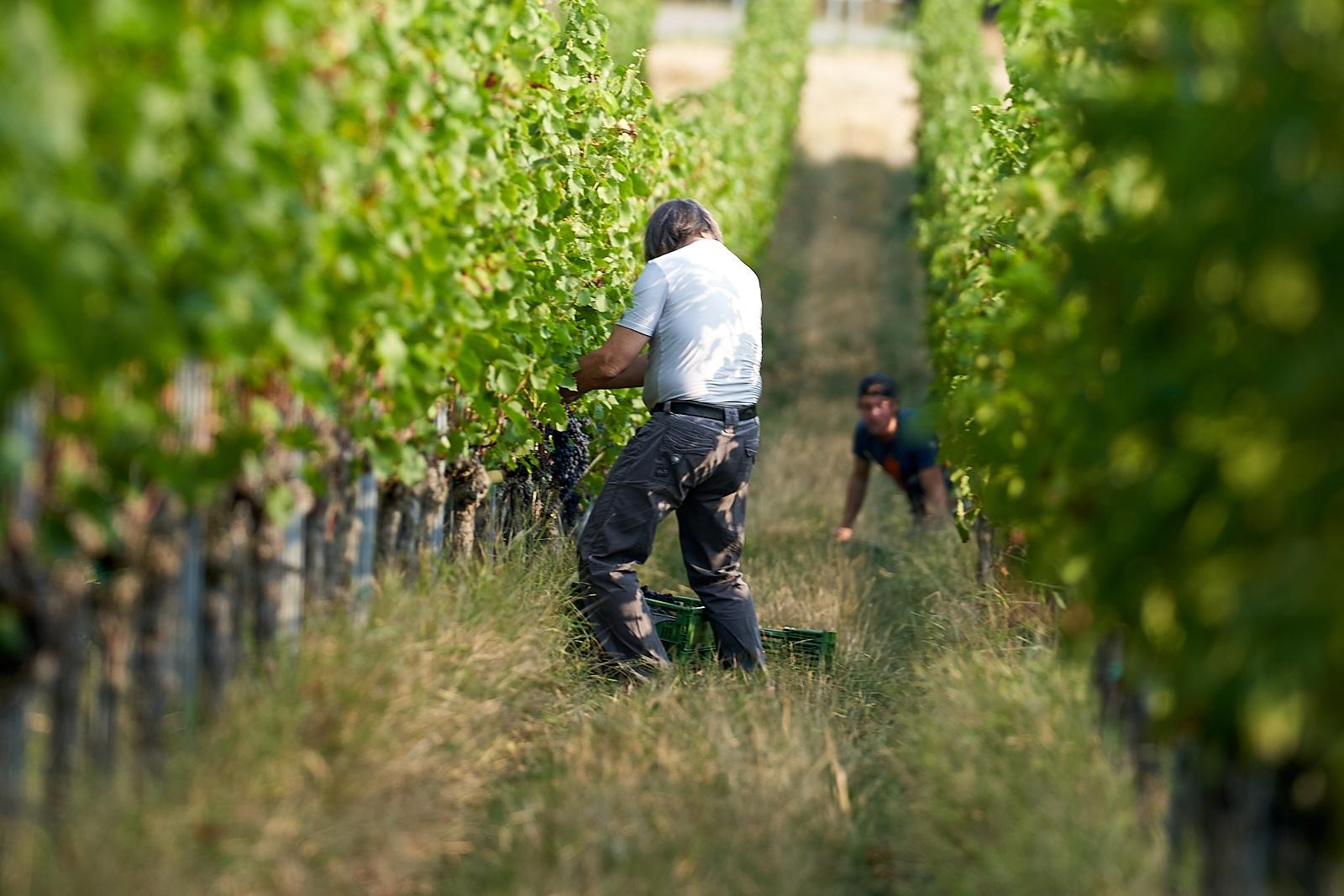 IMI Winery im Weinfeld
