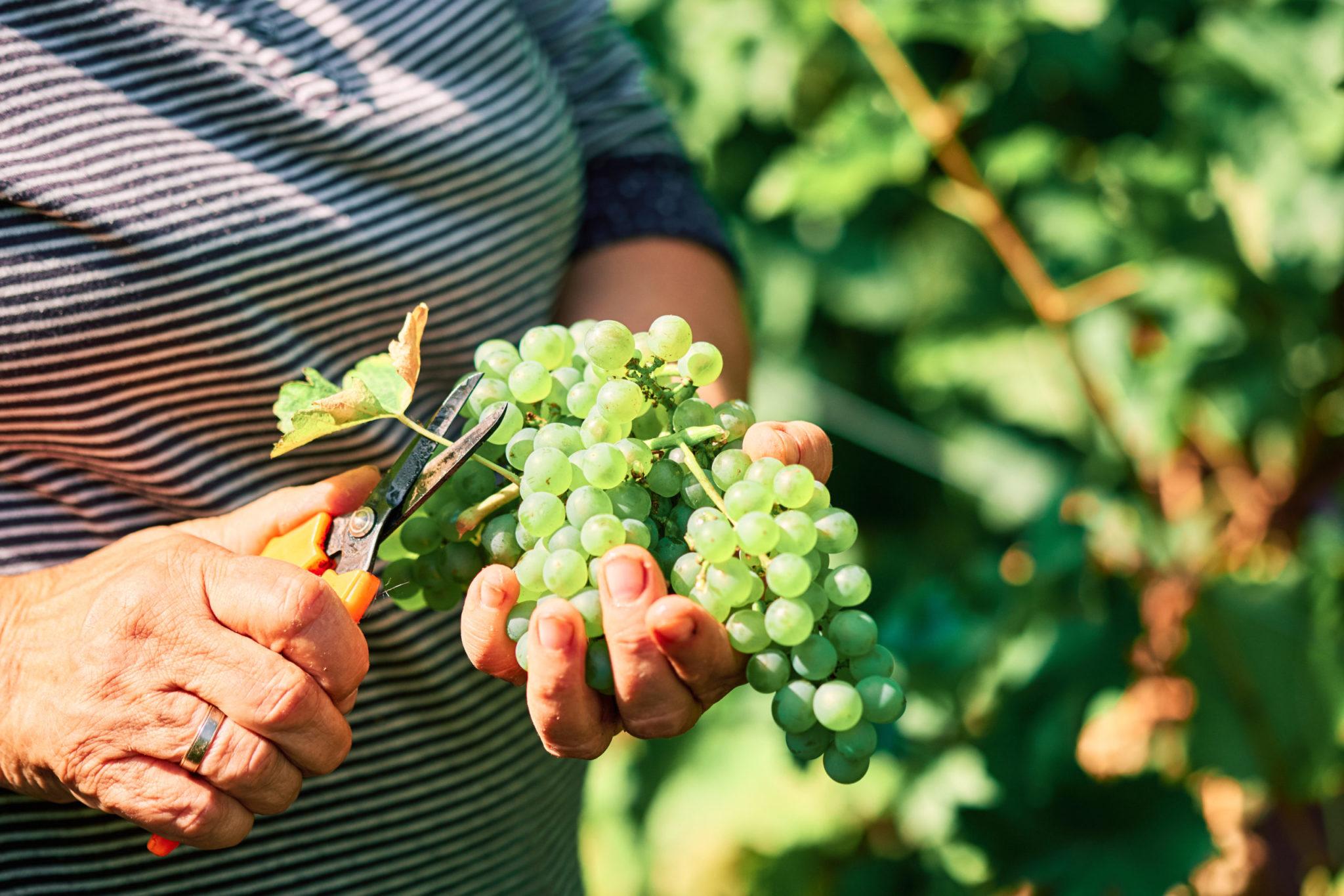 Weinrebe IMI Winery