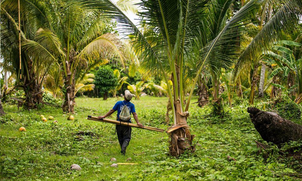 Faire Kohle Kokospalmen