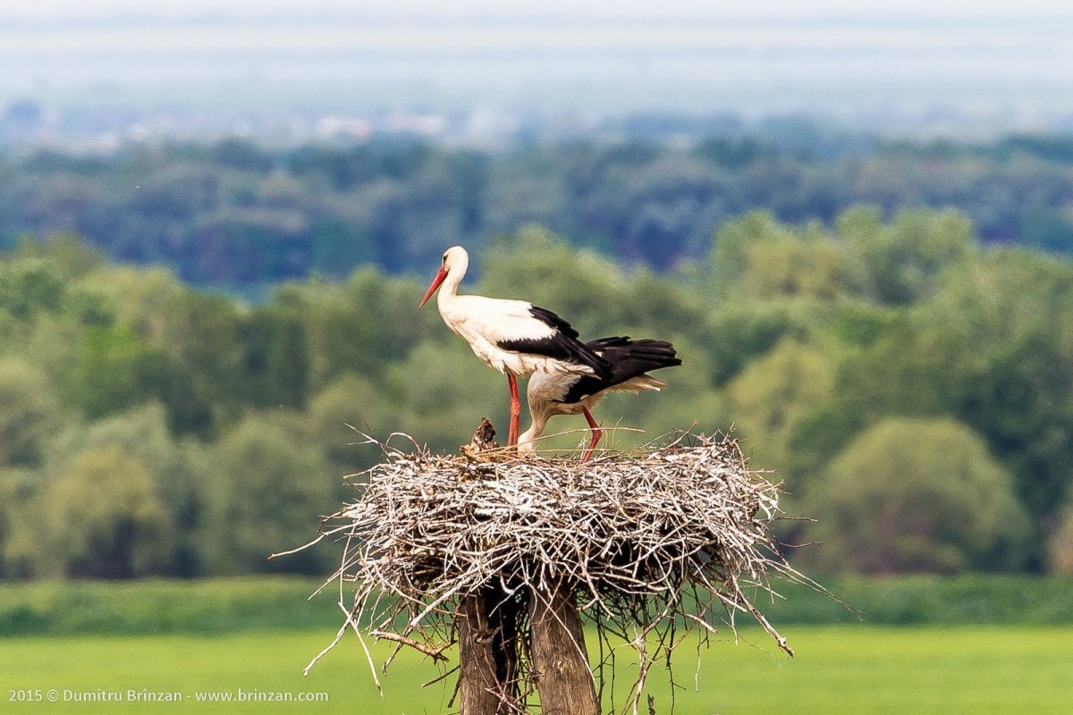 Storks in the Village of Purcari