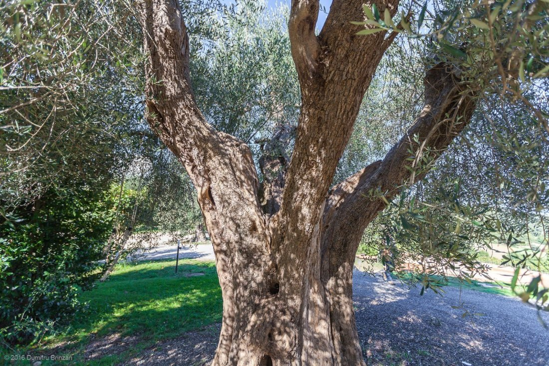 2016-podere-le-ripi-winery-montalcino-8-old-olive-tree
