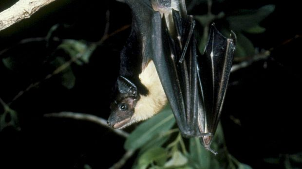 A diseased bat has been found at a busy park in Brisbane's inner south.