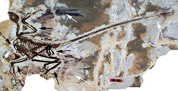Skeleton of the paravian dinosaur Microraptor, from the Early Cretaceous (125 million years ago) of NE China.  This dinosaur was experimenting with flight, but its unique kind of flight – gliding using all four feathered limbs – did not lead to anything. Image is supplied with permission from the Institute of Vertebrate Paleontology & Paleoanthropology (IVPP), Beijing.