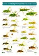 OP54-Grasshoppers