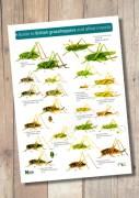 OP54b-Grasshoppers