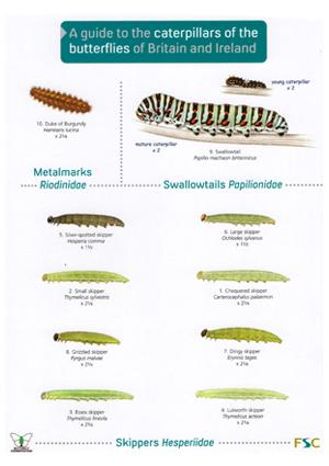 OP70-CaterpillarsButterflies