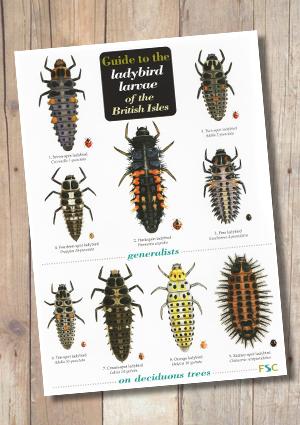 OP152b-LadybirdLarvae