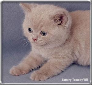 Фото британских кошек и котов. Фотографии котят британцев ...