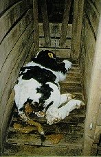 Dead Calf in its Wooden Crate