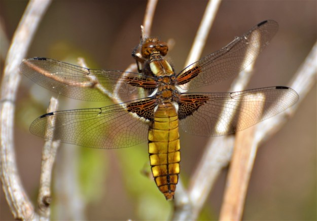 Quiz – can you identify these British dragonflies?   Milton
