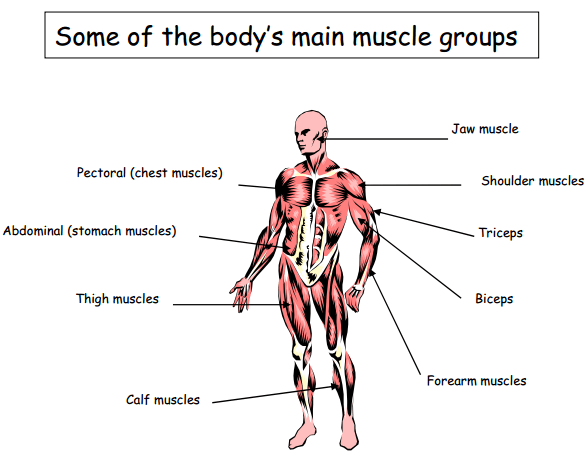 muscle groups | broad heath, Human Body
