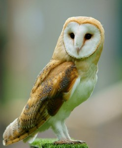 Tyto_alba_-British_Wildlife_Centre,_Surrey,_England-8a_(1)