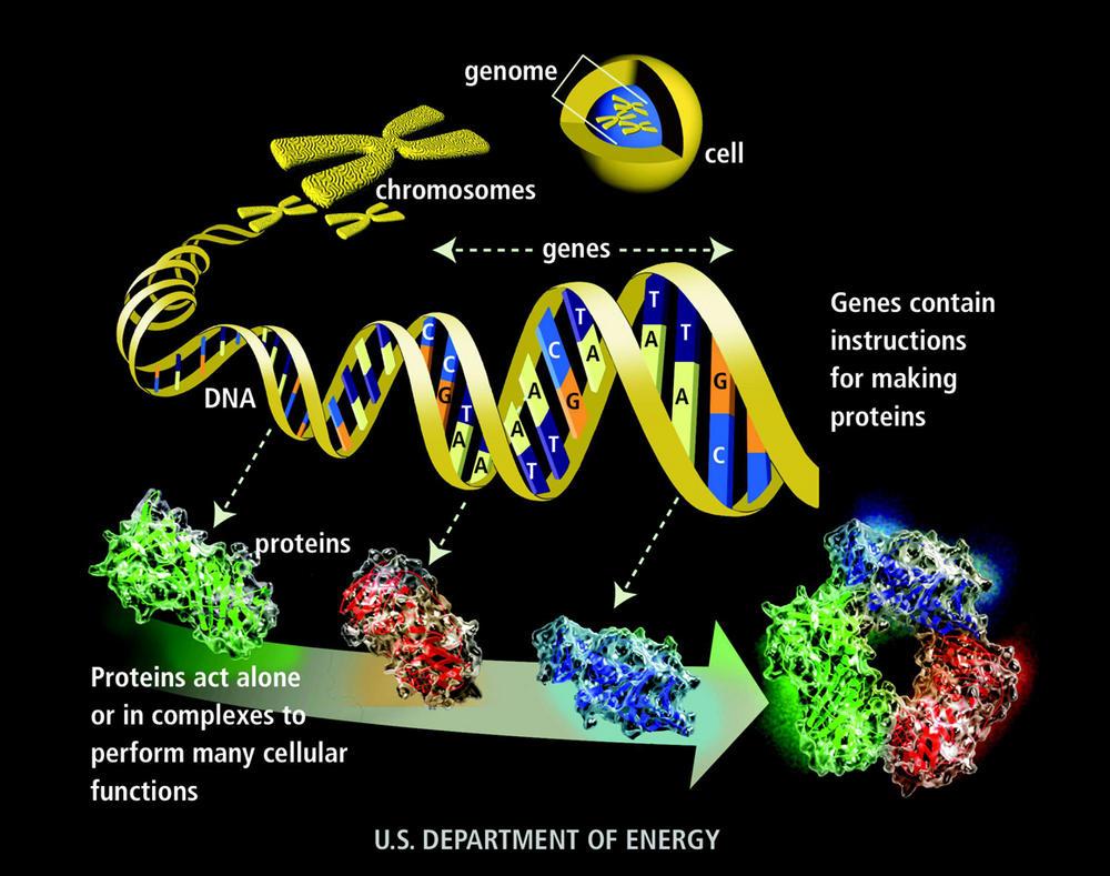 Dna Gene Chromosome Genome