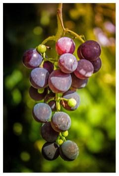 14|10|2013 – Wein in unserem Garten