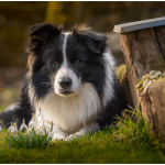 Der böse Border Collie