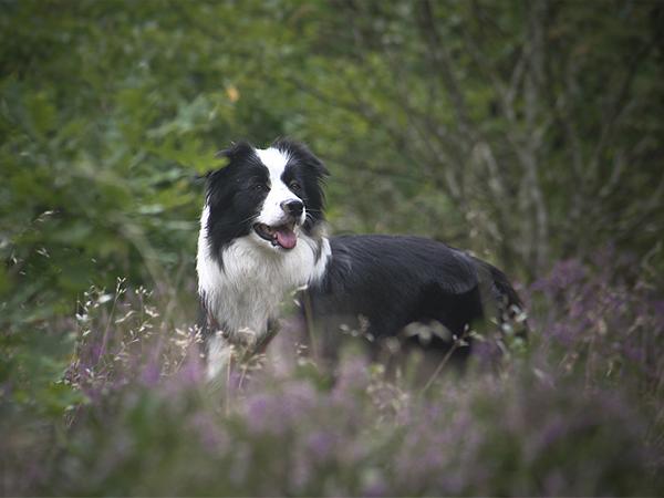Urlaub mit Hund in Dänemark, Border Collie im Hundewald