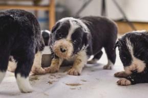 09 03 2017 – Die erste Mahlzeit für unsere fünf Border Collie Welpen