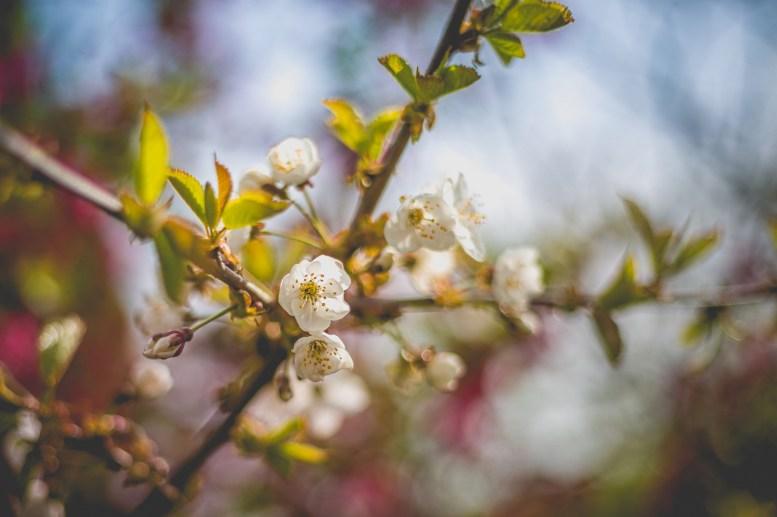 12|04|2017 – Kirschblüten