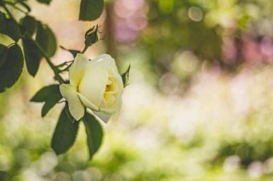 10|06|2017 – Blühende Rosen