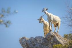 09|05|2018 – Neugierige Blicke von oben: Ziegen grasen am Wanderweg