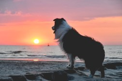 Border Collie im Sonnenuntergang