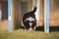 Border Collie Welpen mit sieben Wochen