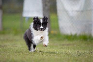 Border Collie Welpe auf dem Hundeplatz